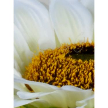Importwala Three Headed White Sunflower Jumbo stick-1401-215V